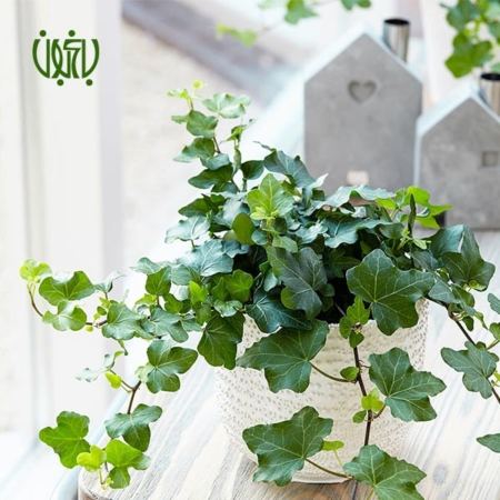 پاپیتال پاپیتال پاپیتال (عشقه) – Ivy (Hedera helix) plant Canary Ivy 04 450x450
