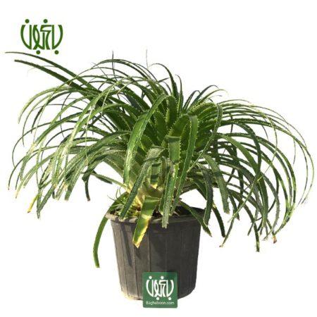 آگاو لیندا  آگاو لیندا-A.Bracteosa plant agave bracteosa 01 450x450