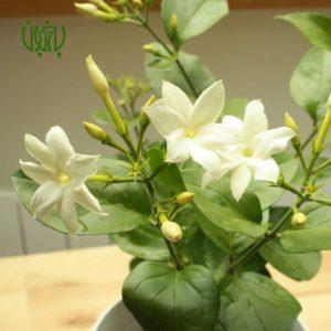 یاس رازقی  گلدار plant arabian jasmine 03 300x300  گلدار plant arabian jasmine 03 300x300