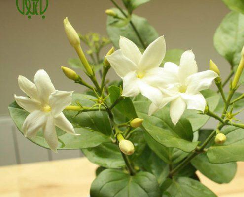 یاس رازقی کالانکوئه کالانکوئه (کالانچو) – Kalanchoe plant arabian jasmine 03 495x400