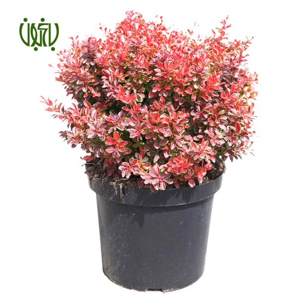 زرشک زینتی  زرشک زینتی-Barberry plant barberry japanese barberry 1