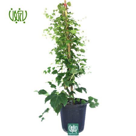 موچسب  گیاه موچسب-Chestnut vine plant chestnut vine 01 450x450
