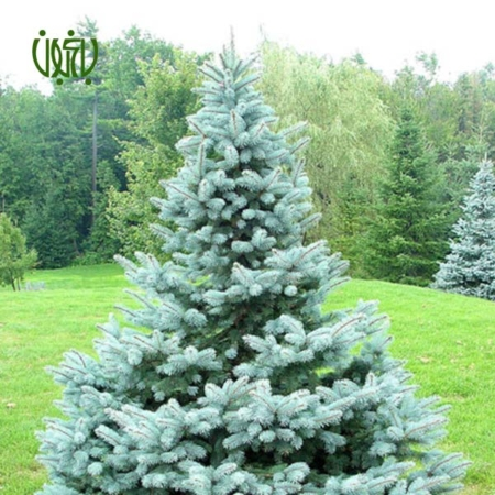کاج کریسمس  کاج نوئل ( کاج کریسمس) – Norway Spruce plant chrismas tree norway spruce 01 450x450