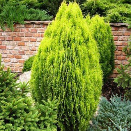 کاج کامیس پاریس  سرو کامیس پاریس –  False Cypress plant false cypress 04 450x450