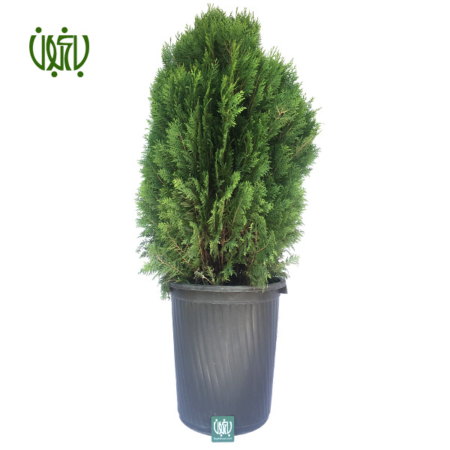 کامیس پاریس – LAWSON CYPRESS  فروشگاه plant false cypress 1 450x450