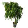 بنجامین آمستل – Ficus Amstel King