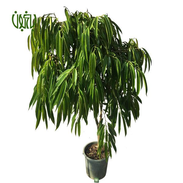 بنجامین آمستل – Ficus Amstel King  بنجامین آمستل-Ficus Amstel plant ficus amstel king 2