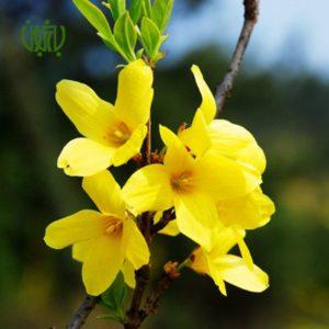 یاس زرد  گلدار plant forsythia 02 300x300  گلدار plant forsythia 02 300x300