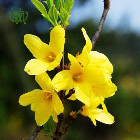 یاس زرد گل و گیاه خانگی گل و گیاه خانگی plant forsythia 02 450x450 گل و گیاه خانگی گل و گیاه خانگی plant forsythia 02 450x450
