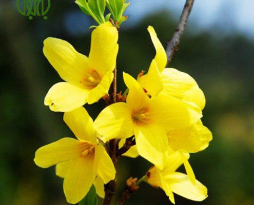 یاس زرد کالانکوئه کالانکوئه (کالانچو) – Kalanchoe plant forsythia 02 495x400
