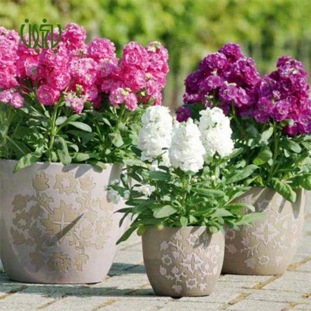 شب بو  گل شب بو –  Matthiola incana plant gillyflower stock 01 450x450