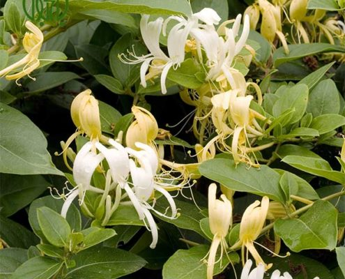 ياس امين الدوله کالانکوئه کالانکوئه (کالانچو) – Kalanchoe plant honeysuckle 02 495x400