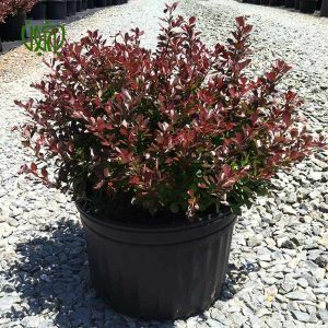 زرشك زينتي  گلخانه plant japanese barberry 01 300x300  گلخانه plant japanese barberry 01 300x300
