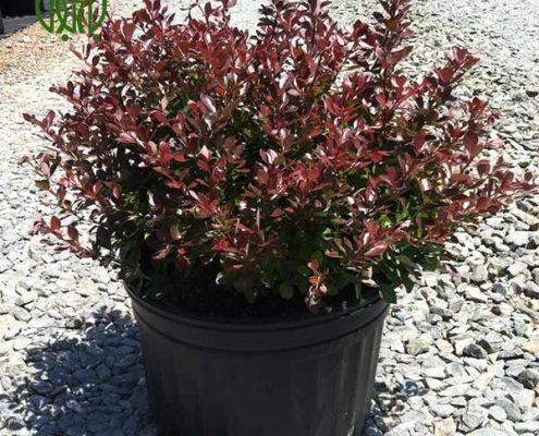 زرشك زينتي  اقاقیا-Robinia plant japanese barberry 01 495x400