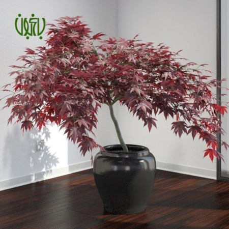 افرا  افرا – Japanese maple plant japanese maple 06 450x450