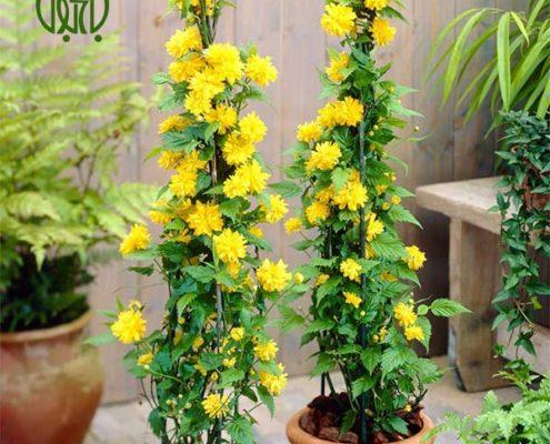 رز آبشار طلايي کالانکوئه کالانکوئه (کالانچو) – Kalanchoe plant kerria japonica 01 495x400