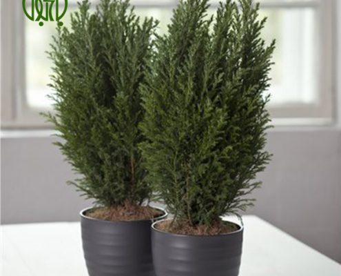 كاج الودي  گل آهار –     Zinnia plant lawson   s cypress ellwood   s 01 495x400