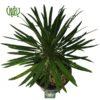 نخل ماداگاسکار – Madagascar Palm