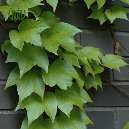 موچسب  موچسب –  Chestnut vine plant parthenocissus tricuspidata 01 450x450
