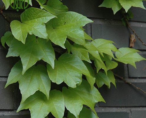 موچسب فلفل زینتی فلفل زینتی (فلفل آنوم) – Ornamental Pepper plant parthenocissus tricuspidata 01 495x400