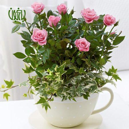 رز مینیاتوری گل ساناز گل ساناز (رز مینیاتوری) – Rosa chinensis plant rosa chinensis minima 01 450x450