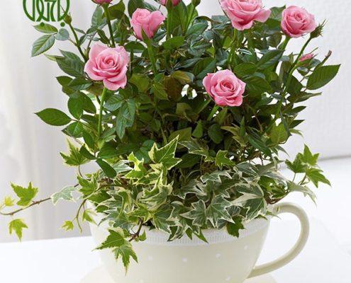 رز مینیاتوری کالانکوئه کالانکوئه (کالانچو) – Kalanchoe plant rosa chinensis minima 01 495x400