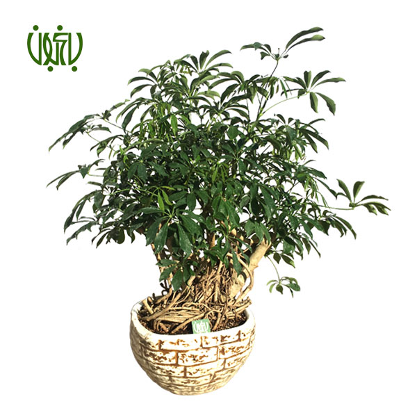 بن سای شفلرا با گلدان سفالی  بن سای شفلرا با گلدان سفالی plant schefflera bonsai 1