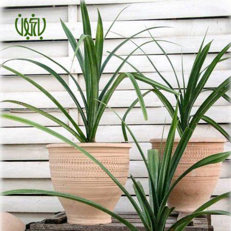 پاندانوس  پاندانوس – Screw pine plant screw pine 04 450x450