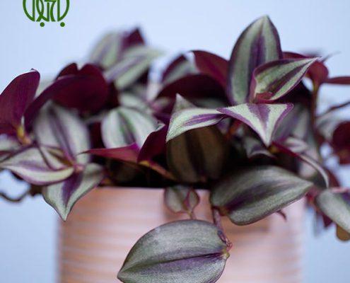 برگ بیدی  گل حنا – BUSY LIZZIE plant wandering jew 05 495x400