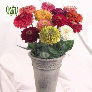 آهار  گلدار plant zinnia 02 300x300  گلدار plant zinnia 02 300x300