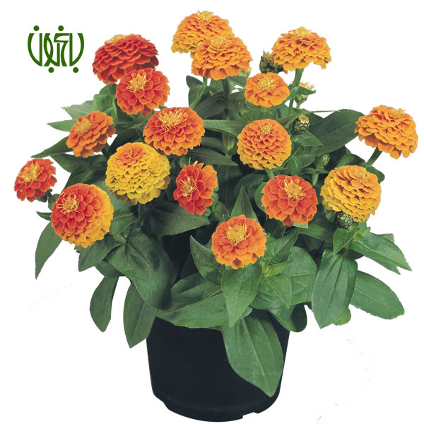 گل آهار – Zinnia  گل آهار-Zinnia plant zinnia 1