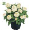 گل آهار – Zinnia