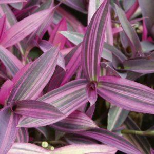 برگ بیدی بنفش  مراقبت از گیاهان آپارتمانی در فصل سرما                          300x300