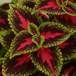 گیاه حسن یوسف  مراقبت از گیاهان آپارتمانی در فصل سرما                 300x300
