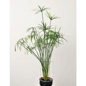 نخل مرداب  مراقبت از گیاهان آپارتمانی در فصل سرما                   300x300