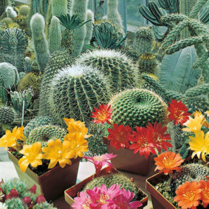 کاکتوس  مراقبت از گیاهان آپارتمانی در فصل سرما              300x300