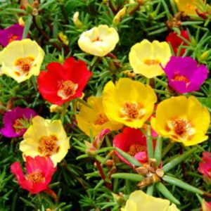 گل ناز آفتابی  مراقبت از گیاهان آپارتمانی در فصل سرما                          300x300