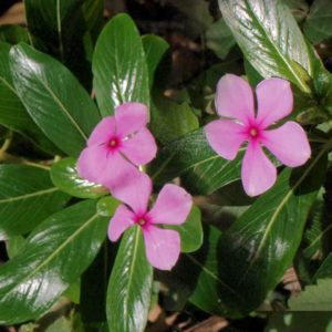 گل پریوش  مراقبت از گیاهان آپارتمانی در فصل سرما                 300x300
