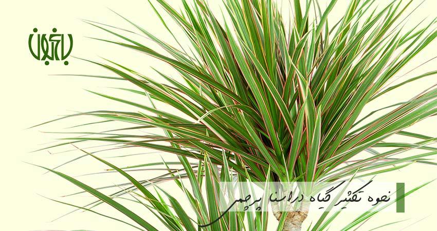 گیاه دراسنا پرچمی روش تکثیر دراسنا پرچمی روش تکثیر دراسنا پرچمی dracaena marginata  وبلاگ dracaena marginata