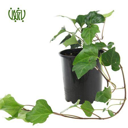 گياه پاپیتال – Hedera helix  پاپیتال – Hedera helix plant Canary Ivy 4 450x450