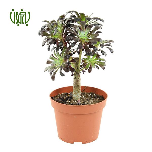 آئونیوم – Aeonium  آئونیوم-Aeonium plant aeonium 1 گل و گیاه خانگی گل و گیاه خانگی plant aeonium 1