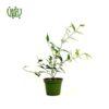گياه یاس رازقی – Arabian jasmine