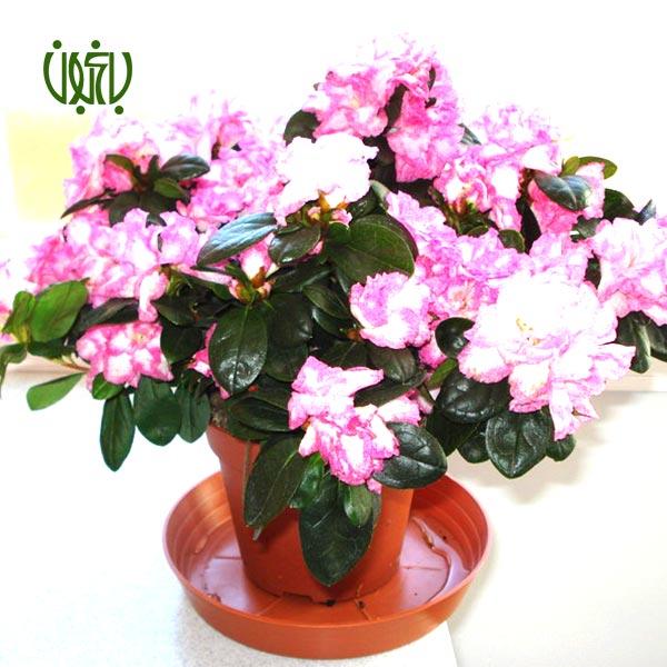 آزالیا – Azalea  آزالیا-Azalea plant azalea 5 گل و گیاه خانگی گل و گیاه خانگی plant azalea 5