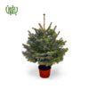 کاج نوئل ( کاج کریسمس) – Norway Spruce