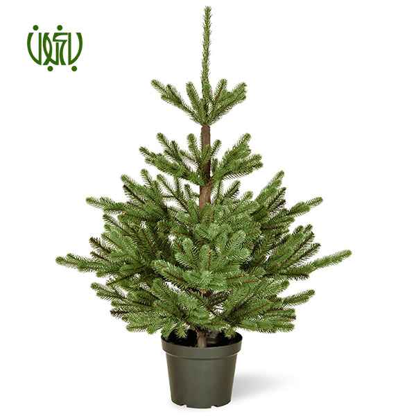 کاج نوئل ( کاج کریسمس) – Norway Spruce  کاج نوئل ( کاج کریسمس)-Norway Spruce plant chrismas tree norway spruce 04