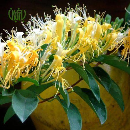 گياه پیچ امین الدوله (ياس امين الدوله) - Honeysuckle  پیچ امین الدوله (ياس امين الدوله)-Honeysuckle plant honeysuckle 3 450x450