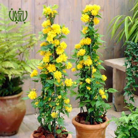 گل رز آبشار طلايي – Kerria japonica  گل رز آبشار طلايي-Kerria japonica plant kerria japonica 1 450x450
