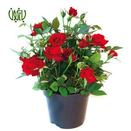گل رز مینیاتوری (ساناز) - CHINA ROSE  گل رز مینیاتوری (ساناز) – CHINA ROSE plant rosa chinensis minima 1 450x450  فروشگاه plant rosa chinensis minima 1 450x450