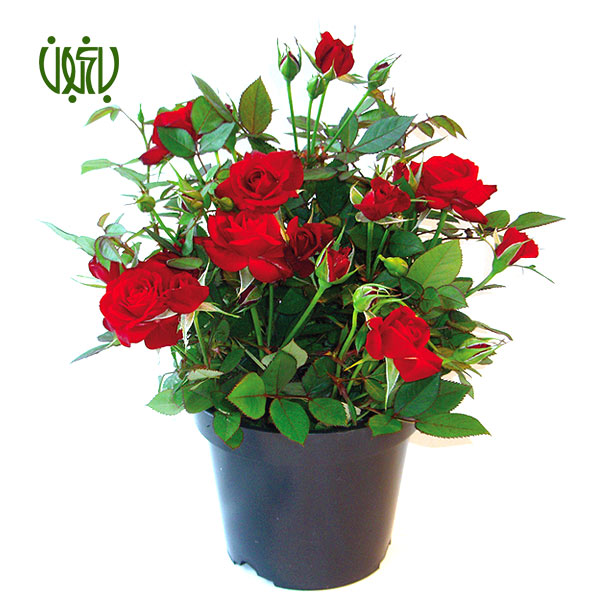 گل رز مینیاتوری (ساناز) - CHINA ROSE  گل رز مینیاتوری (ساناز)-CHINA ROSE plant rosa chinensis minima 1