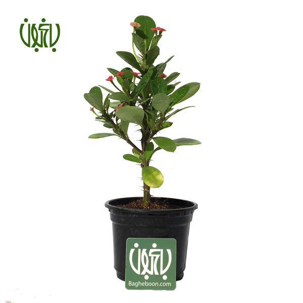 گل مرجان - christ plant